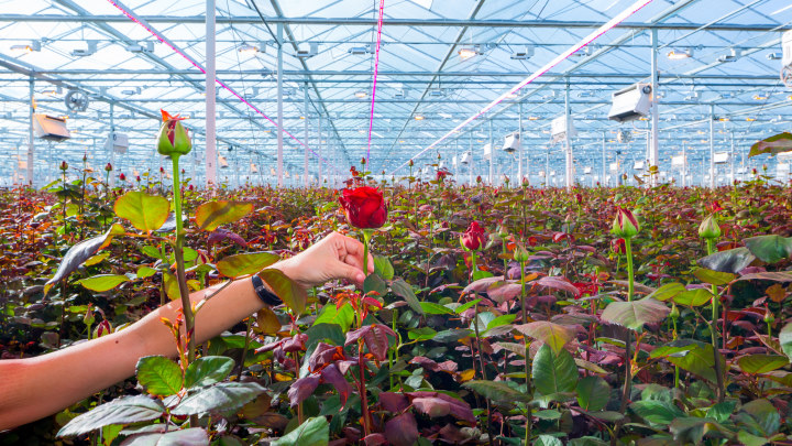 LED grow lights improve quality and yield of roses