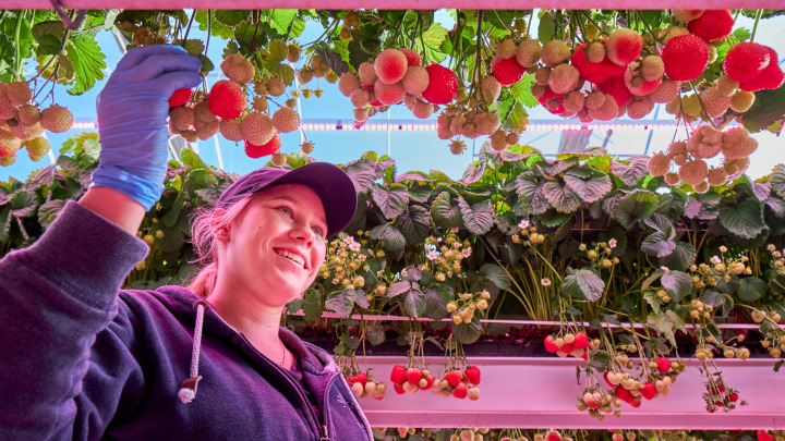 Strawberries – proven results for growing fruits indoors
