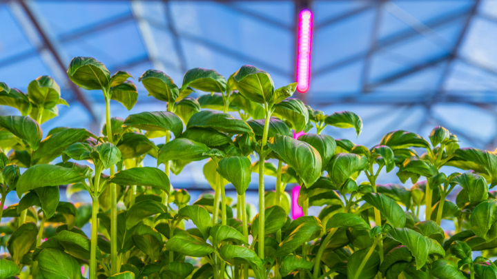 Grow herbs indoors with LED grow lights for higher productivity and better tasting crops