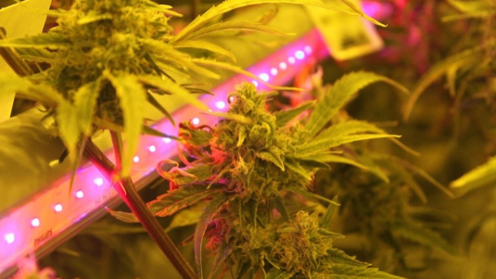 Cannabis interlighting