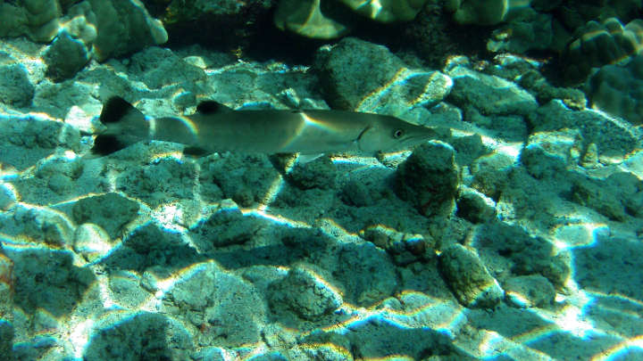 Great barracuda caustics